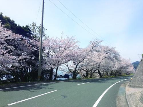 野福峠の桜2