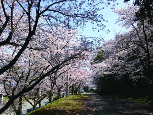 明浜事務所の桜