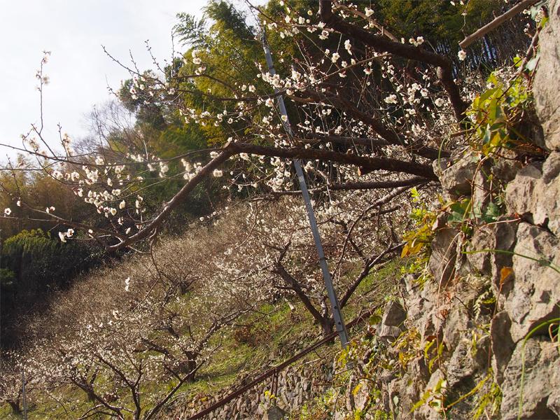 段々畑の梅の花