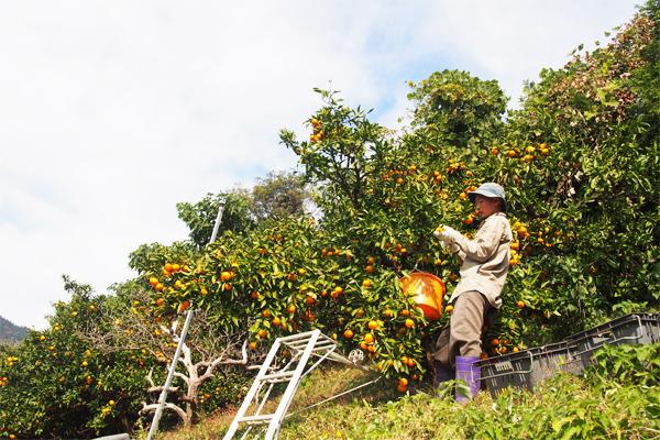 明浜では収穫アルバイターを募集しています。