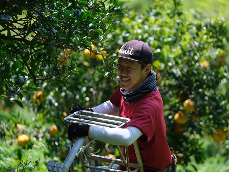 てんぽ印の甘夏収穫 その1